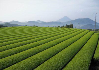 Chiran-tea-event_2020_3